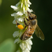 Ligurian Honey Bee - Photo (c) Ivar Leidus, some rights reserved (CC BY-SA)