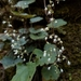 Heuchera puberula - Photo (c) Eric Hunt, all rights reserved