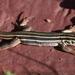 Desert Grassland Whiptail - Photo (c) Jay Keller, all rights reserved, uploaded by Jay L. Keller