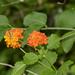 Lantana × urticoides - Photo (c) Alexander R. Meza, כל הזכויות שמורות