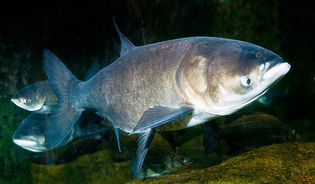 Mississippi asian big head carp