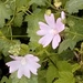 Greater Musk-Mallow - Photo (c) paolapalazzolo, all rights reserved