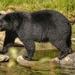 Ursus americanus vancouveri - Photo (c) Michel Labossiere, todos los derechos reservados