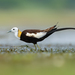 Pheasant-tailed Jacana - Photo (c) Sriram Reddy, all rights reserved