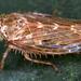 Euscelidius variegatus - Photo (c) gernotkunz, todos los derechos reservados
