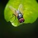 Hydrotaea - Photo (c) hlchan, todos los derechos reservados