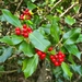 European Holly - Photo (c) Xavier Domene, all rights reserved