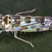 Eupteryx melissae - Photo (c) gernotkunz, todos los derechos reservados