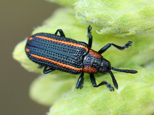 Tortoise Beetles and Hispines (Subfamily Cassidinae) · iNaturalist org
