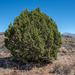 Western Juniper - Photo (c) Dominic Gentilcore, all rights reserved