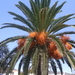 Canary Island Palm - Photo (c) Madeira Walking, some rights reserved (CC BY-NC-ND)