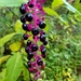American Pokeweed - Photo (c) Michael Sherman, all rights reserved