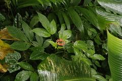 Podandrogyne decipiens image