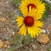 Great Blanketflower - Photo (c) fm5050, all rights reserved