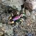 Escarabajo Tigre Metálico - Photo (c) Matt Brady, todos los derechos reservados