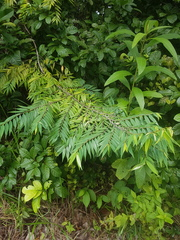 Xylopia frutescens image