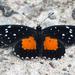 Mariposa Parche Carmesí - Photo (c) Juan Miguel Artigas Azas, todos los derechos reservados