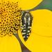 Acmaeodera amplicollis - Photo (c) Jay Keller, todos los derechos reservados, uploaded by Jay L. Keller