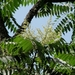 Ailanthus altissima tanakai - Photo (c) Lijin Huang (紫楝), כל הזכויות שמורות