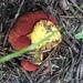 Gastroboletus amyloideus - Photo (c) Kingman Bond-Graham, todos los derechos reservados