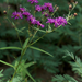 Texas Ironweed - Photo (c) Eric Hunt, all rights reserved