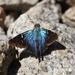 Astraptes erycina - Photo (c) Maicon Molina, todos los derechos reservados