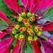 Poinsettia - Photo (c) Felipe Toro, all rights reserved