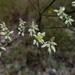 Eriogonum longifolium - Photo (c) Eric Hunt, כל הזכויות שמורות
