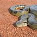 Anaconda - Photo (c) Angie Tovar, todos los derechos reservados