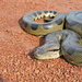 Green Anaconda - Photo (c) Angie Tovar, all rights reserved
