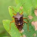 Stink Bugs, Shield Bugs, and Allies - Photo (c) WonGun Kim, all rights reserved