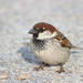 Italian Sparrow - Photo (c) Cédric Roy, some rights reserved (CC BY-NC-ND)