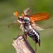 Escarabajo Sanjuanero - Photo (c) gernotkunz, todos los derechos reservados