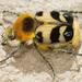 Trichius sexualis - Photo (c) gernotkunz, todos los derechos reservados