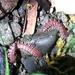 Nearctodesmus insulanus - Photo (c) Paul Maier, todos los derechos reservados