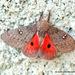 Syssphinx hubbardi - Photo (c) Juan Carlos Garcia Morales, todos los derechos reservados