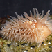 Aeolidia loui - Photo (c) Gary McDonald, todos los derechos reservados
