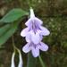 Streptocarpus cyaneus polackii - Photo (c) Warren De Bruyn, todos los derechos reservados