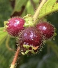 Sabicea villosa image