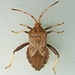 Helmeted Squash Bug - Photo (c) Bill Keim, all rights reserved