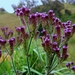 Brazilian Vervain - Photo (c) Marcheline, all rights reserved