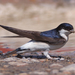 Common House Martin - Photo (c) Mark Kilner, some rights reserved (CC BY-NC-SA)