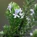 Westringia fruticosa - Photo (c) crazybirdman, kaikki oikeudet pidätetään