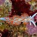 Hermissenda crassicornis - Photo (c) Gary McDonald, todos los derechos reservados