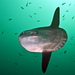 Common Mola - Photo (c) Phil Garner, all rights reserved
