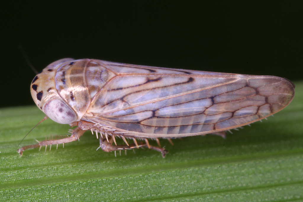 Cechenotettix quadrinotatus ; (c) gernotkunz, all rights reserved