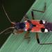Beosus quadripunctatus - Photo (c) gernotkunz, todos los derechos reservados