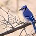 Blue Jay - Photo (c) Sergei Drovetski, all rights reserved
