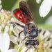Asaltadoras de Cola Roja - Photo (c) DinGo OcTavious, todos los derechos reservados