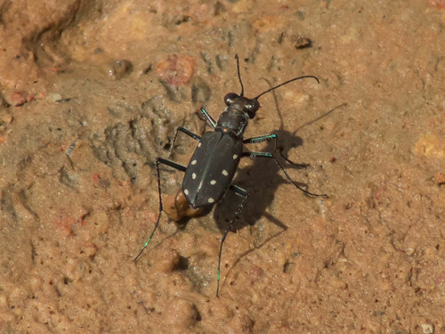 treichard's Life List of Beetles · iNaturalist org